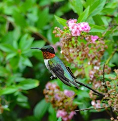 Ruby Throated Hummingbird (picturesinmylife_yls) Tags: ruby throated hummingbird busy nature morning