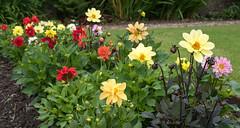 Glendoune House (26 of 30) (stoneleighboy) Tags: southayrshire flowers spring seasons summer typesofgarden walled border dahlias