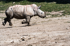 White Rhinoceros 40 (cypher40k Photography) Tags: calf color colour nikon rhino rhinocalf rhinoceros toronto torontozoo whiterhino whiterhinocalf whiterhinoceros zoo