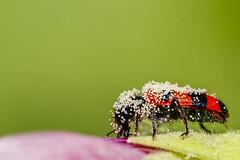 Clairon des abeilles (bebopeloula) Tags: photorobertcrosnier 2018 89 bleignylecarreau bourgogne europe faune france nikond700 yonne animaux clairondesabeilles couleurs extérieur insecte invertébrés jardin macro ngc