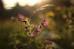 Serenade in the meadow (Nathalie_Désirée) Tags: flower nature macro closeup sun sunlight eveningsun warmlight flora blossom bokeh serenade canoneos600d canon50mm f18