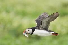 Puffin (adbecks) Tags: puffin flight bif nikon 300 pf lens review d500 field 100 crop