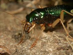 Big jaws! (cotinis) Tags: insect beetle coleoptera carabidae tetracha tetrachavirginica megacephala megacephalavirginica tigerbeetle virginiametallictigerbeetle northcarolina piedmont canonefs60mmf28macrousm explore inaturalist