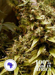 Zim_Licious_5701a02c6a9ae (Watcher1999) Tags: cannabis medical marijuana seeds bob marley growing weed smoking sativa ganja reggae legalize it