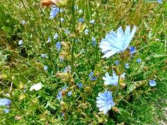 ilustrate cu flori de câmp (băseşteanu) Tags: peisaj landscape vara summer grosi maramures rural grass flowers iarba flori hike drumetie natura nature verde green sat village
