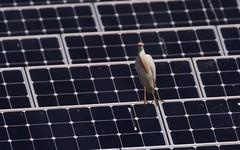 Héron gardeboeufs sur un parc de panneau solaire - IMBF2375 (6franc6) Tags: occitanie languedoc gard 30 juin 2018 6franc6 vélo kalkoff balade