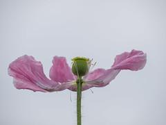 P7040015 (turbok) Tags: mohn pflanze zierpflanzen c kurt krimberger