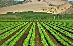 In The Shadow Of Dunes (Michael T. Morales) Tags: montereycounty agriculture salinasvalley