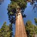 Sequoia Tree - 1
