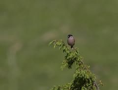 Bouvreuil pivoine (JFB31) Tags: bouvreuilpivoine pyrrhulapyrrhula eurasianbullfinch passériformes fringillidés