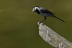 Bergeronnette grise (Yves.Henchoz) Tags: nikond5 tamron150600g2 tamron150600g2avectcx1414x sauvage nature suisse oiseaux oiseauxsauvages bokeh