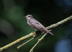 Spotted Flycatcher Herts-1312 (seandarcy2) Tags: birds wildlife woodland flycatche spotted herts uk