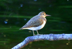 Thr sandpiper on the branch.. (irio.jyske) Tags: naturephotograph naturescape naturephotos naturephotographer naturepics natural naturepic naturepictures naturephoto nature photographer photograph photos birdphoto birdphotograph birdphotographer birdpics birdpic bird animalphotographer animalphotograph animal sandpiper tree river branch flies colors nice beauty