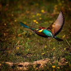 Bee-eater (Szabo Peter) Tags: bird birdwatching gyurgyalag nature wildlife szabo magyarok beeeater canon canon550d sigma sigma150600