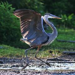 Great Blue Heron as Road Runner (dianne_stankiewicz) Tags: heron greatblueheron roadrunner running feathers nature wildlife posture wings