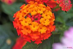 Orange Ball (fs999) Tags: 400iso fs999 fschneider aficionados zinzins pentaxist pentaxian pentax k1 pentaxk1 fullframe justpentax flickrlovers ashotadayorso topqualityimage topqualityimageonly artcafe pentaxart corel paintshop paintshoppro 2018ultimate paintshoppro2018ultimate macrolife macro makro masterphotos fleur flower blume bloem tamronspafdi90mmf28macro tamron sp af di 90mm macrolens 11 f28
