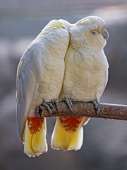 Two parrots loving each other (Tambako the Jaguar) Tags: parrot macaw two togehter couple love cuddling perched branch beige white red yellow bird loroparque tenerife spain nikon d5