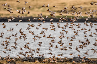 Red Knots rising