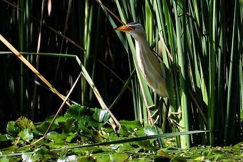 Little bittern_03