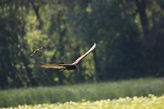 img_100-3661 (Mark Eichin) Tags: greatmeadowsnationalwildliferefuge turkeyvulture concord feathers attack massachusetts redwingedblackbird