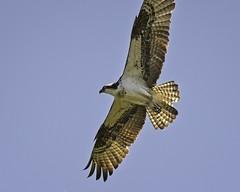 Soaring (mtmelody14) Tags: bird raptor osprey