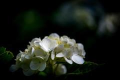 紫陽花 #1ーHydrangea #1 (kurumaebi) Tags: yamaguchi 秋穂 山口市 nikon d750 nature マクロ macro 花 紫陽花 アジサイ hydrangea flower