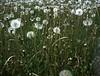 Dandelion field (threepinner) Tags: dandelion summer mikasa hokkaidou hokkaido northernjapan japan pearl hexar 75mm f35 positive selfdeveloped 三笠 北海道 北日本 日本
