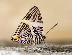 Zebra Mosaic (jt893x) Tags: 105mm afsvrmicronikkor105mmf28gifed butterfly coloburadirce d810 insect jt893x macro mosiac nikon zebramosaic thesunshinegroup coth alittlebeauty coth5
