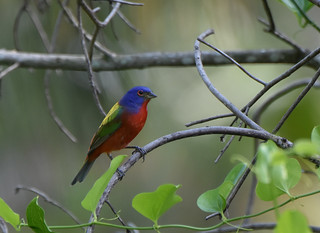 Painted Bunting 4-10-18