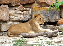 Fort Worth Zoo (only1malcolmfisher) Tags: 40150 em1mkll zoo animals lioness lion