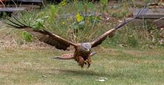 Sliced Chicken Anyone? (Hector16) Tags: redkite kite milvusmilvus woodley berkshire wildlife uk fauna england unitedkingdom gb ngc npc