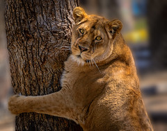Tree Hugger (Tracey Fandre) Tags: aurora insyncexotics lion lioness wildcat