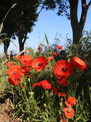w 3 (BENPAB) Tags: poppy poppies field edge corn summer june flowers