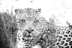 Leopard in Black and White (zenseas) Tags: africa bigcatrescue workingholiday bornfree bornfreesanctuary vacation holiday male southafrica africanleopard workingvacation drinking httpswwwshamwaricomactivitiesbornfreebigcatsanctuarie shamwari pantheraparduspardus rescued leopard httpswwwshamwaricomactivitiesbornfreebigcatsanctuaries monochrome bw blackandwhite