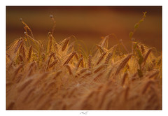 Betimes (Max Angelsburger) Tags: corn crop ernte harvest getreide weizen golden light soft beautiful dreamy bokeh glow