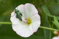 oedemera nobilis (sylvain535) Tags: flower macro insect oedemera nobilis
