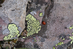 "Lichen and Ladybug • <a style=""font-size:0.8em;"" href=""http://www.flickr.com/photos/63501323@N07/42139511785/"" target=""_blank"">View on Flickr</a>"