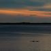 Aligator at Sunset
