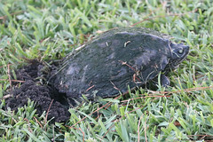 Mississippi Map Turtle; Laying Eggs, Photo # 1 (Arthur Windsor - Florida Wildlife) Tags: mapturtle southflorida yelloweyeturtle turtle reptile turtlenest palmbeachcounty mississippimapturtle