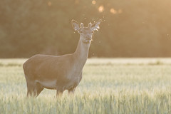 Young Red Deer Stag (Wouter's Wildlife Photography) Tags: reddeer deer cervuselaphus stag male young juvenile sunset animal mammal nature naturephotography wildlife wildlifephotography billund krondyr pattedyr