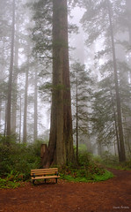 The austere grandeur of redwoods on a foggy morning... (vasanthmp) Tags: tree redwoods forrest fog morning hike trail bench nature travel environment green dream