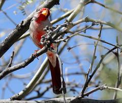 Pyrrhuloxia -- Male (Cardinalis sinuatus); Catalina, AZ [Lou Feltz] (deserttoad) Tags: bird wildbird songbird desert tree arizona pyrrhuloxia nature wildlife fauna