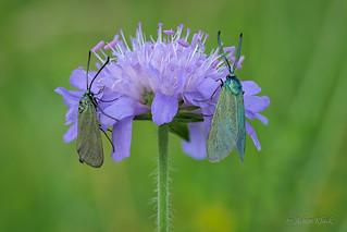 Ampfer-Grünwidderchen (Adscita statices) Männchen und Weibchen