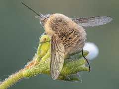 Bee fly at golden light (Siegfried Tremel) Tags: olympusmzuikodigitaled60mmf28 olympusomdem1markii novoflex zerenestacker focusbracketing insect naturallight makro macro nature
