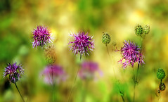 Wild flowers. (augustynbatko) Tags: wildflowers nature flowers flower macro blur bokeh meadow field glade plant