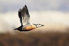 Steller Eider (Daniel Behm Photography) Tags: stellereider steller eider drake waterfowl fowl flight birdinflight duckinflight barrow akalaska barrowalaska tundra arctic arcticlight danielbehm behm studebakertours