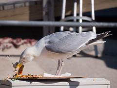 Flying Tarte Flambée (In Explore 7.7.2018) (christophbieniek (coming back!)) Tags: explored explore sylt westerland möwe silbermöwe seagulls herring gull greed gier meer nordsee action lumix g9 100400mm