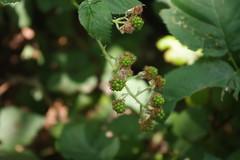 baby berries (EllenJo) Tags: sedonaarizona oakcreek july6 heather heathersvisit sedona summerinaz pentaxks1 crescentmoonranch redrockcrossing arizona az 2018