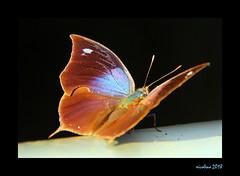Butterfly (xicoleao (Thanks to 1 million views)) Tags: southamerica argentina iguaçu iguazu animals buterflies