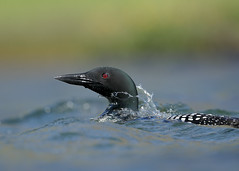 Great Northern Diver Gavia immer (Iain Leach) Tags: birdphotography wildlifephotography photograph image wildlife nature iainhleach wwwiainleachphotographycom canon canoncameras photography canon1dxmk2 canon5dmk4 beauty beautiful beautyinnature macro macrophotography closeup greatnortherndiver gaviaimmer iceland commonloon
